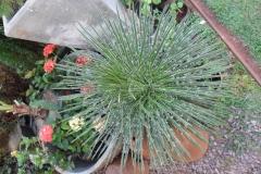 Mudas de agave palito