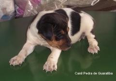 Filhotes disponíveis! terrier brasileiro (fox paulistinha)  filhotes: http://www.canilpguaratiba.com/html/n6letrai_tb.html