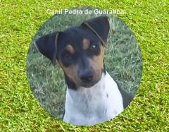 Terrier brasileiro (fox paulistinha) dedicaÇÃo - trabalho - responsabilidade! desde 1990! filhotes tricolores de preto, azul, fígado, isabela! filhotes: http://www.canilpguaratiba.com/html/n6letrai_tb.html
