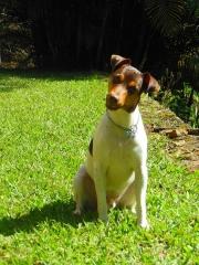Bento da pedra de guaratiba!  terrier brasileiro (fox paulistinha) macho tricolor de fígado.  proprietário: moacy. filhotes: http://www.canilpguaratiba.com/html/n6letrai_tb.html facebook: http://pt-br.facebook/canilpedradeguaratiba instagram: http://instagram.com/canilpguaratiba