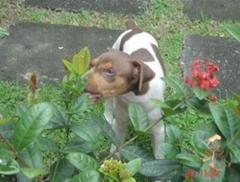 Objetividade! carinho! disciplina! terrier brasileiro (fox paulistinha) xuxete da pedra de guaratiba fêmea tricolor de fígado.  filhotes: http://www.canilpguaratiba.com/html/filhotes_tb.html