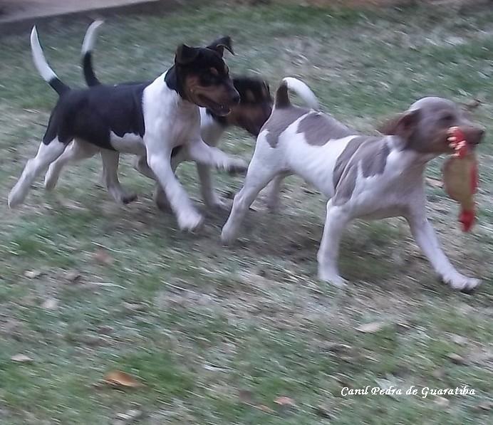 DEDICAÇÃO - TRABALHO - RESPONSABILIDADE! Desde Sempre! Terrier Brasileiro (Fox Paulistinha). RECREAÇÃO! Filhotes: http://www.canilpguaratiba.com/html/filhotes_tb.html