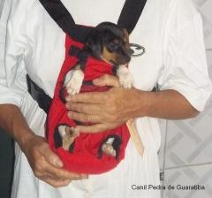 CriaÇÃo selecionada! dora da pedra de guaratiba! terrier brasileiro (fox paulistinha). proprietário: edisio. filhotes: http://www.canilpguaratiba.com/html/filhotes_tb.html