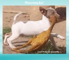 RecreaÇÃo! terrier brasileiro (fox paulistinha).  filhotes: http://www.canilpguaratiba.com/html/filhotes_tb.html