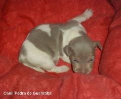 Errier brasileiro (fox paulistinha) disponível! macho tricolor de isabela! nascimento: 07/06/15. filhotes: http://www.canilpguaratiba.com/html/n6letrak_tb.html