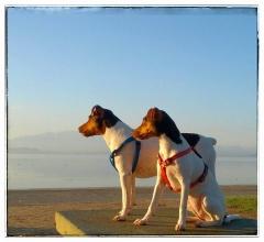 Bento e zoé - terrier brasileiro - filhotes em: http://www.canilpguaratiba.com/html/n6letrak_tb.html