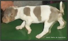 Fox paulistinha -filhotes disponíveis: http://www.canilpguaratiba.com/html/n6letrak_tb.html