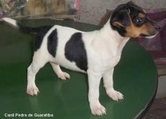 Terrier brasileiro (fox paulistinha) - filhotes disponíveis -http://www.canilpguaratiba.com