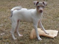 Filhotes recreaÇÃo! terrier brasileiro (fox paulistinha)! http://www.canilpguaratiba.com