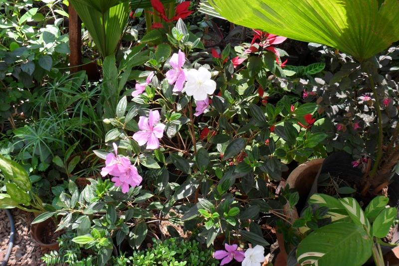 muda de manaca de jardim : Foto: mudas de manaca da serra