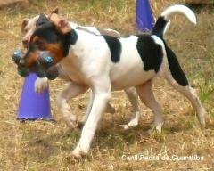 Terrier brasileiro (fox paulistinha) hora do lazer!  site: http://www.canilpguaratiba.com