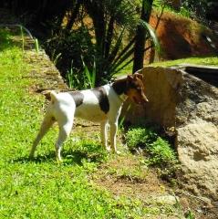 Terrier brasileiro (fox paulistinha) bento da pedra de guaratiba - http://www.canilpguaratiba.com