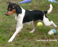 Terrier brasileiro (fox paulistinha)- gema da paedra de guaratiba - http://www.canilpguaratiba.com