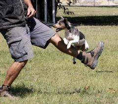 Terrier brasileiro (fox paulistinha) balotelli - http://br.pinterest.com/pin/420523683935914462/
