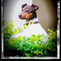 Terrier brasileiro (fox paulistinha) - zoé - http://www.canilpguaratiba.com