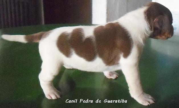 FÊMEA tricolor fígado DISPONÍVEL - http://pt-br.facebook/canilpedradeguaratiba