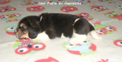 Beagle canil pedra de guaratiba - fêmeas disponíveis - http://www.canilpguaratiba.com