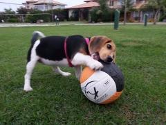 Amora da pedra de guaratiba - beagle - http://www.canilpguaratiba.com