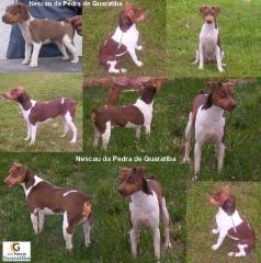 Terrier brasileiro (fox paulistinha) - canil pedra de guaratiba - nescau macho tricolor de fígado - http://www.canilpguaratiba.com