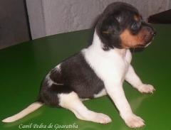 Terrier brasileiro (fox paulistinha) - canil pedra de guaratiba - fêmea tricolor de preto disponível! http://www.canilpguaratiba.com