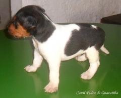 Terrier brasileiro (fox paulistinha) - canil pedra de guaratiba - filhotes disponíveis - http://www.canilpguaratiba.com