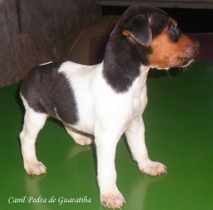 Terrier brasileiro (fox paulistinha) - canil pedra de guaratiba -  http://canilpedradeguaratibafilhotestb.blogspot.com.br/2016/05/31-05-2016.html