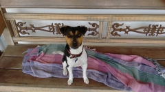 Terrier brasileiro (fox paulistinha) - canil pedra de guaratiba - zero - http://canilpedradeguaratibatb.blogspot.com.br/2016/05/31-05-2016.html