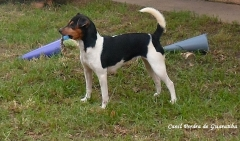 Terrier brasileiro (fox paulistinha) - canil pedra de guaratiba -  http://canilpedradeguaratibatb.blogspot.com.br/2016/05/31-05-2016.html