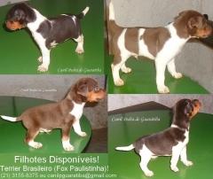 Terrier brasileiro (fox paulistinha) - canil pedra de guaratiba - rio de janeiro - rj.    http://canilpedradeguaratibatb.blogspot.com.br