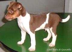 Terrier brasileiro (fox paulistinha)  - canil pedra de guaratiba  - http://canilpedradeguaratibatb.blogspot.com.br