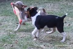 Terrier brasileiro (fox paulistinha) - canil pedra de guaratiba - http://www.canilpguaratiba.com