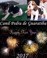 Terrier brasileiro e beagle - canil pedra de guaratiba - http://www.canilpguaratiba.com