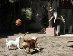 TERRIER BRASILEIRO (FOX Paulistinha) Canil Pedra de Guaratiba - 27 anos. Balotelli da Pedra de Guaratiba. O cão voador! Site: http: //www.canilpguaratiba.com #canilpedradeguaratiba #foxpaulistinha #terrierbrasileiro