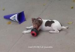 Terrier brasileiro (fox paulistinha) canil pedra de guaratiba - 27 anos. fêmea tricolor de fígado - disponível! site: http://www.canilpguaratiba.com #canilpedradeguaratiba  #foxpaulistinha  #terrierbrasileiro