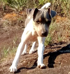 Terrier brasileiro (fox paulistinha) canil pedra de guaratiba - 27 anos. ali da pedra de guaratiba. nasc: 01/05/16. proprietário: guilherme. site: http://www.canilpguaratiba.com #canilpedradeguaratiba #foxpaulistinha #terrierbrasileiro