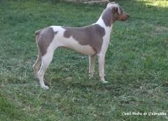 Canil Pedra de Guaratiba - 27 anos! Terrier Brasileiro (Fox Paulistinha) http://www.canilpguaratiba.com