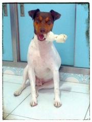 Terrier brasileiro (fox paulistinha) canil pedra de guaratiba - 27 anos. bento da pedra de guaratiba. nasc: 21/01/13. proprietário: moa. http://www.canilpguaratiba.com