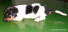 Filhotes terrier brasileiro canil pedra de guaratiba fêmeas disponíveis! para saber mais visite nossa página! http://www.canilpguaratiba.com/html/filhotes_tb.html