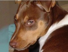 Filhotes terrier brasileiro canil pedra de guaratiba olhar 43! nala da pedra de guaratiba. fêmea tricolor de fígado. visite nossa página! http://www.canilpguaratiba.com/html/plantel_tb.html