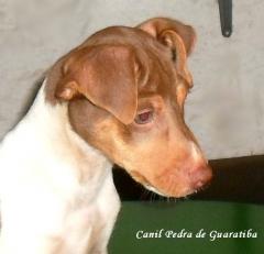 Filhotes terrier brasileiro canil pedra de guaratiba macho disponível! tricolor de fígado. nascimento: 05/12/16. visite nossa página! http://www.canilpguaratiba.com/html/filhotes_tb.html