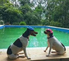 Bento & Zoé! Proprietário: Moa. FILHOTES TERRIER BRASILEIRO Canil Pedra de Guaratiba Visite nossa página! http://www.canilpguaratiba.com/html/filhotes_tb.html