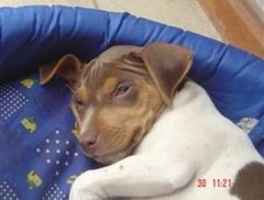 Xuxete terrier brasileiro momento de descanso! filhotes terrier brasileiro nascimento: 22/06/06. proprietária: lúcia. visite nossa página! http://www.canilpguaratiba.com/index.html