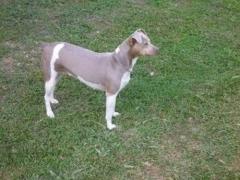 E.Gwen Terrier Brasileiro Fêmea tricolor de isabela Nascimento: 25/06/10. Proprietária: Bruna. Nescau x Lalá. Visite nossa página! Terrier Brasileiro Fox Paulistinha http://www.canilpguaratiba.com/index.html