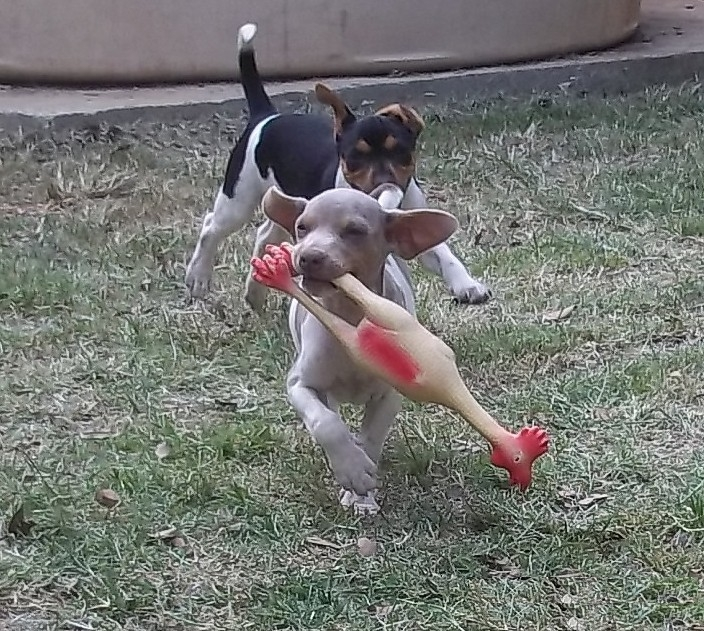 Hora da Brincadeira Recreação de Filhotes! Canil Pedra de Guaratiba. Visite nossa página! Terrier Brasileiro Fox Paulistinha http://www.canilpguaratiba.com/index.html