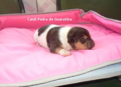 Filhote Terrier Brasileiro Macho Tricolor de Preto Disponível para reserva! Liberado a partir de: 12/08/17. Visite nossa página! Terrier Brasileiro Fox Paulistinha http://www.canilpguaratiba.com/index.html