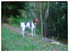 Bento Terrier Brasileiro! Macho tricolor de fígado. Temperamento, beleza, estrutura! Nascimento: 21/01/13. Proprietário: Moacy. Visite nossa página! Terrier Brasileiro Fox Paulistinha http://www.canilpguaratiba.com