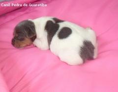 Filhote terrier brasileiro fêmea tricolor de azul disponível para reserva! liberada a partir de: 13/08/17. visite nossa página! terrier brasileiro fox paulistinha http://www.canilpguaratiba.com/index.html