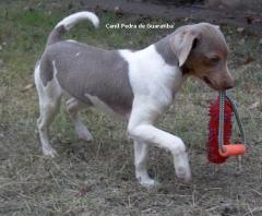 Filhote disponível! Macho tricolor de isabela. Nascimento: 04/01/17. Quadro vacinal completo! Excelente temperamento. Visite nossa página! Terrier Brasileiro Fox Paulistinha http://www.canilpguaratiba.com/index.html