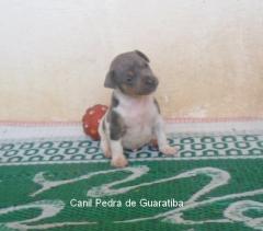 Filhote Terrier Brasileiro Macho Tricolor de Azul Disponível para reserva! Liberada a partir de: 13/08/17. Visite nossa página! Terrier Brasileiro Fox Paulistinha http://www.canilpguaratiba.com/index.html