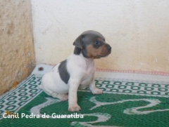 Fêmea tricolor de azul. Nascimento: 27/06/17. Proprietária: Cíntia. Visite nossa página! Terrier Brasileiro Fox Paulistinha http://www.canilpguaratiba.com/index.html